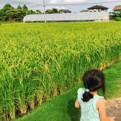夏の終わり/黄金色/稲刈り/稲 夏休み始めは、まだまだ青々としていた稲🍃…
