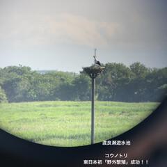 新しい生活様式/コロナに負けるな/がんばれ日本/渡良瀬遊水池/雛鳥誕生/コウノトリ 渡良瀬遊水池に飛来して住み着いたコウノト…