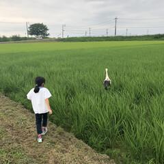 コウノトリ 7月16日  大接近!! 運良く、コウノ…