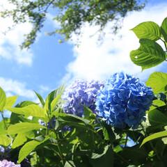 おでかけワンショット/LIMIAおでかけ部/おでかけ/旅行 香川県三豊市紫雲出山 紫陽花