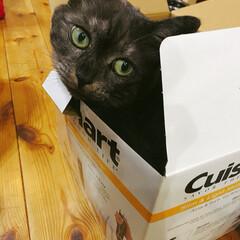 癒し/猫のいる生活/空き箱/ペット/猫 こんにちは! 我が家の愛猫「もも」です。…