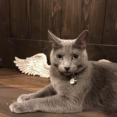 うちの子ベストショット/ロシアンブルー/LIMIAペット同好会/ペット/猫/にゃんこ同好会/... アーク、という名前は方舟の意味のArkか…