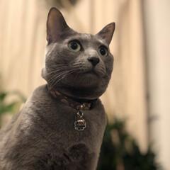 ロシアンブルー/猫と暮らすインテリア/猫とインテリア/猫と暮らす/おうち/ペット/... 今日のアークです。  先程の写真と同じく…