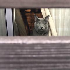 猫とインテリア/猫と暮らすインテリア/猫と暮らす/猫あるある/ロシアンブルー/おうち/... 家の鍵を閉めて、仕事に出掛けようとすると…