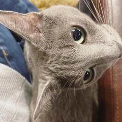 猫と暮らす/ロシアンブルー/猫と暮らすインテリア/猫とインテリア/住まい/暮らし 私とソファのめっちゃ狭い隙間に無理やり潜…