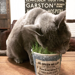 ペット/猫/にゃんこ同好会/インテリア/住まい/ロシアンブルー/... ねこ草を美味しそうにむさぼり食べているア…