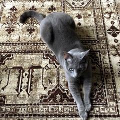 猫とインテリア/猫との暮らし/ベルギーラグ/ラグ/ロシアンブルー/ペット/... モケット織りのベルギーラグを買ったら、爪…