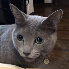 猫とインテリア/猫と暮らすインテリア/猫あるある/猫と暮らす/ロシアンブルー/LIMIAペット同好会/... 家で商品を検品していたら、やたらクンクン…