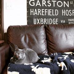 猫とインテリア/ロシアンブルー/アートのある暮らし/猫と暮らすインテリア/バスロールサイン/猫と暮らす/... ソファが合皮なので冬は座るとヒヤッとしま…