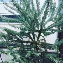 ガーデニング/ボタニカル/ミモザ/ブルーブッシュ/アカシア/ブルー 1年前に庭に植えたアカシアの「ブルーブッ…