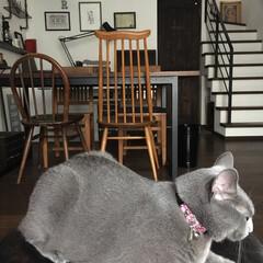 猫の首輪/ハンドメイド/リバティ/アーコール/アーコールチェア/猫派/... アークの首輪を新調しました♪ いつもリバ…(1枚目)