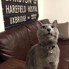 猫とインテリア/猫と暮らすインテリア/猫と暮らす/猫あるある/ロシアンブルー/おうち/... キバがにょきっと出てるアークです。  目…