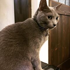 ロシアンブルー/猫と暮らすインテリア/猫と暮らす/猫とインテリア/おうち/ペット/... アラジンファンヒーターの上で温まっている…