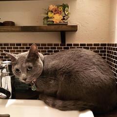 ロシアンブルー/猫と暮らす/造作洗面台/LIMIAペット同好会/ペット/猫/... 最近洗面台の蛇口から水を飲むのがブームな…