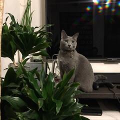 ドラセナ/観葉植物/猫と暮らすインテリア/猫とインテリア/猫と暮らす/ロシアンブルー/... テレビ台の上に上がって、ドラセナコンパク…