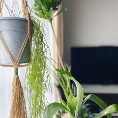 ボタニカルインテリア/インテリア/リプサリス/植物のある暮らし/新生活/住まい/... リプサリスの鉢カバーをブリキ鉢に変えまし…