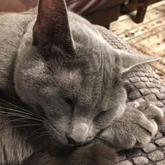 おやすみショット/ロシアンブルー/LIMIAペット同好会/ペット/猫/にゃんこ同好会/... いつものIKEAのグレーのクッションの上…