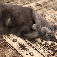 猫あるある/猫と暮らす/ロシアンブルー/猫とインテリア/猫と暮らすインテリア/おうち/... うらめしや~~~  早くおやつくれにゃい…