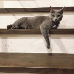 自然素材の家/ロシアンブルー/うちの子ベストショット/猫派/LIMIAペット同好会/にゃんこ同好会/... 今日も階段で通行規制していたアークです!…