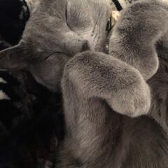 ニトリのこたつ/こたつ/猫とインテリア/猫と暮らすインテリア/ロシアンブルー/猫と暮らす/... ニトリのこたつ布団の上でへそ天で眠るアー…