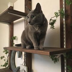 DIY/ディアウォール/インテリア/ペット/猫/ロシアンブルー/... うちのアーク(ロシアンブルー3歳♀)です…