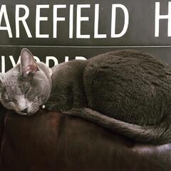 おやすみショット/LIMIAペット同好会/猫/にゃんこ同好会/インテリア/住まい ソファの背もたれの上で寝てしまったアーク…