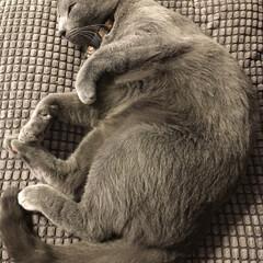 おやすみショット/ロシアンブルー/猫と暮らす/LIMIAペット同好会/ペット/猫/... お気に入りのIKEAのグレーのクッション…