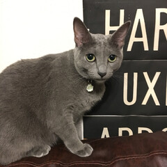 バスロールサイン/ロシアンブルー/ペット/猫/インテリア/住まい ソファの背もたれによく登ってるアークです…