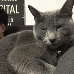 ロシアンブルー/おやすみショット/LIMIAペット同好会/猫/にゃんこ同好会/インテリア/... 食後に息子とソファでくつろぎながらテレビ…