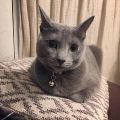 ロシアンブルー/猫と暮らすインテリア/猫とインテリア/猫と暮らす/おうち/ペット/... こちらはノーマル状態のアークです。  う…