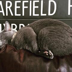 ロシアンブルー/おやすみショット/LIMIAペット同好会/ペット/猫/にゃんこ同好会/... ソファの狭い背もたれの上で爆睡中のアーク…