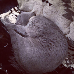 おやすみショット/LIMIAペット同好会/ペット/猫/にゃんこ同好会/インテリア/... ニトリのコタツ布団の上で爆睡しているアー…