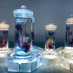 ブルー/標本/透明標本/LIMIAごはんクラブ/おでかけ 息子と美術館へ見に行った透明標本展です。…(1枚目)