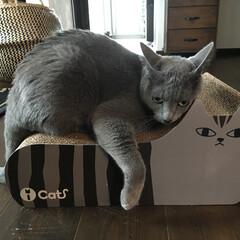 ロシアンブルー/無垢材の床/自然素材の家/爪とぎ/ペットグッズ/猫のおもちゃ/... アークお気に入りのダンボール製の爪とぎで…