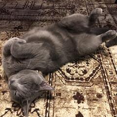 ベルギーラグ/ロシアンブルー/ペット/猫/インテリア ラグでへそ天のアークが、みんなが寝室へ行…(1枚目)