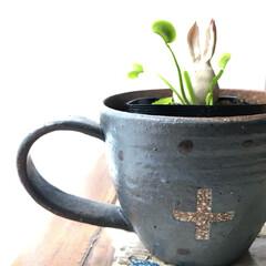 食虫植物/作家物/陶芸/マグ/カップ/食器/... 陶芸作家の友人が作ったコーヒーカップです…