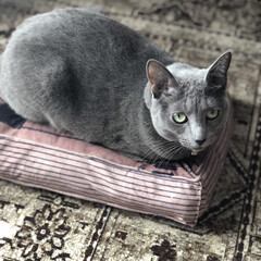猫あるある/猫と暮らす/猫とインテリア/猫と暮らすインテリア/ロシアンブルー/あけおめ/... アークが乗っかっているのは、銀行でいただ…