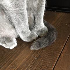 うちの子ベストショット/ロシアンブルー/LIMIAペット同好会/ペット/猫/にゃんこ同好会/... にゃんこが座っている時に、前足の前にしっ…