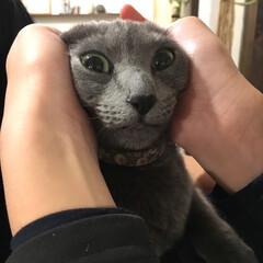 ロシアンブルー/猫と暮らすインテリア/猫とインテリア/猫と暮らす/あけおめ/おうち/... 娘が抱っこしているアークに、息子がイタズ…