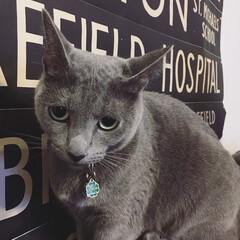 猫と暮らすインテリア/ビンテージ/バスロールサイン/ロシアンブルー/ペット/猫 ソファの背もたれの上に乗っかってるアーク…