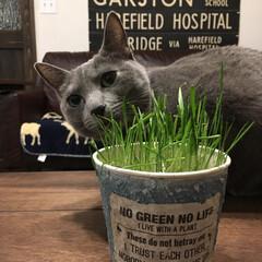 猫とインテリア/猫と暮らす/猫と暮らすインテリア/ロシアンブルー/LIMIAペット同好会/ペット/... ねこ草に夢中のアークです。  娘がねこ草…