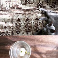 猫とインテリア/猫と暮らす/猫と暮らすインテリア/ロシアンブルー/水耕栽培/チューリップ/... ダイソーで買ったチューリップの球根の水耕…