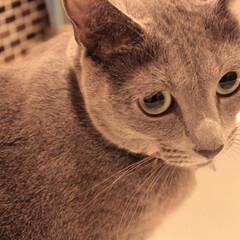 猫あるある/ロシアンブルー/猫と暮らす/猫と暮らすインテリア/猫とインテリア/ペット/... 洗面台へ先回りして待機中のアークです。 …