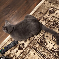 インテリア/ベルギーラグ/猫と暮らすインテリア/猫と暮らす/ロシアンブルー/ペット/... 学校から帰った息子がアークを撮って送って…