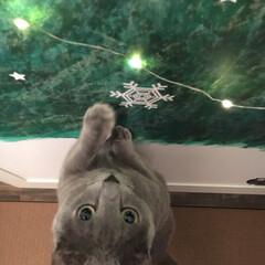 ジュエリーライト/ディスプレイ/ロシアンブルー/猫と暮らす/猫と暮らすインテリア/猫とインテリア/... 和室の押し入れの扉に娘が描いたもみの木に…