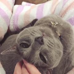 猫と暮らすインテリア/猫と暮らす/ロシアンブルー/ペット/猫 モフモフのパジャマを着た娘の足の間にはま…