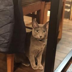 猫の日/ロシアンブルー/猫と暮らす/猫とインテリア/猫と暮らすインテリア/うちの子自慢/... ダイニングテーブルの下からこっち見てるア…