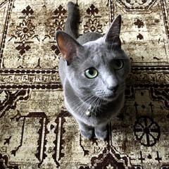 ヴィンテージ/ロシアンブルー/ベルギーラグ/ラグ/ペット/猫/... おねだり中のアークです。 仕事から帰って…