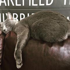 猫と暮らす/ロシアンブルー/おやすみショット/LIMIAペット同好会/ペット/猫/... ソファの狭い背もたれの上で爆睡中のアーク…