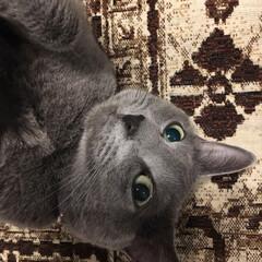 猫とインテリア/猫と暮らすインテリア/猫と暮らす/ロシアンブルー/うちの子自慢/LIMIAペット同好会/... へそ天しているアークのお顔アップです。 …